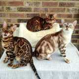 Kucing Bengal - Foto 1
