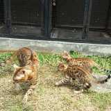 Kucing Bengal - Foto 2